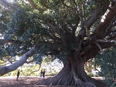 Heritage trees in Milton Ulladulla